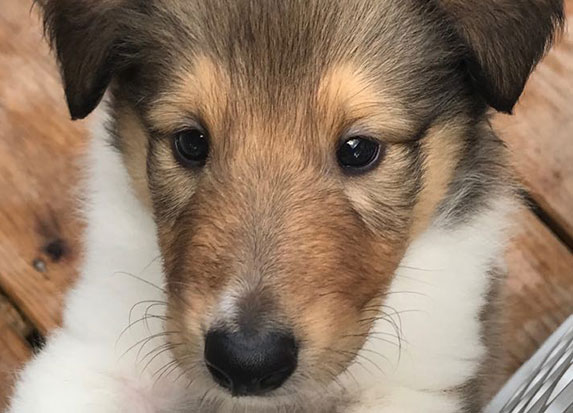 East Coast Collies Rough Collies Puppies For Sale In Wilmington Nc